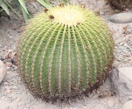 Echinocactus grusonii, Golden barrel cactus, large spherical cactus with yellow spines along ridges, native of Mexico, endangered in native habitat. Stock Photo