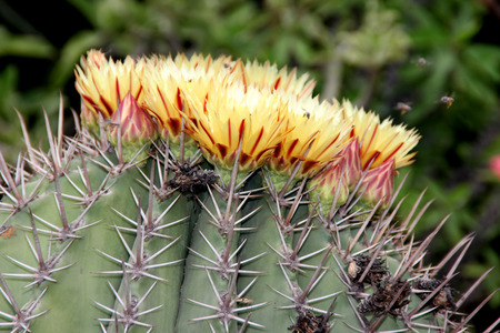 heavily: Echinocactus platycanthus, Giant barrel cactus, also known as Echinocactus ingens, very large cactus which can live for more than hundred years, heavily ridged barrel shaped with large areoles