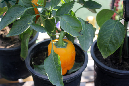 consumed: Bell pepper, Capsicum annuum, cultivated annual herb with small white flowers and drooping fruits initially green, turning yellow as it matures and finally turning red. Consumed as cooked stuffed vegetable and in salads.