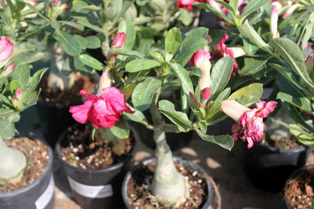 Adenium obesum, Desert Rose, small shrub with swollen base, and trumpet shaped pink, rose to white flowers, grown often in pots