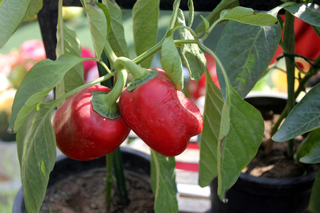 matures: Bell pepper, Capsicum annuum, cultivated annual herb with small white flowers and drooping fruits initially green, turning yellow as it matures and finally turning red. Consumed as cooked stuffed vegetable and in salads.