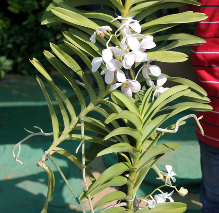 epiphytic: Ascocenda Krailerk Alba, trigeneric hybrid Ascocenda, arising after crossing Ascocenda Ascocentrum x Vanda x Arachnis. It is an epiphytic sympodium herb with long trailing roots, strap shaped leaves in two rows, white flowers with red spots.