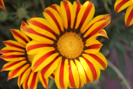 radiate: Gazania ringens Aztec Orange, perennial herb with silvery foliage and yellow radiate heads with orange ray florets with red central rib with black base
