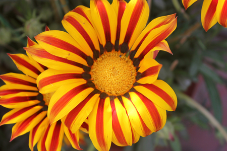 Gazania ringens Aztec Orange, perennial herb with silvery foliage and yellow radiate heads with orange ray florets with red central rib with black base