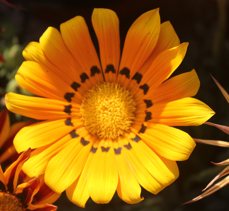 radiate: Gazania ringens Talent Orange, perennial herb with silvery foliage and yellow radiate heads with black dots at base of ray florets