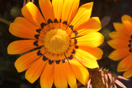 florets: Gazania ringens Talent Orange, perennial herb with silvery foliage and yellow radiate heads with black dots at base of ray florets
