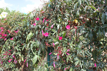tuberous: Ipomoea horsfalliae, Cardinal creeper, Crimson Ipomoea, evergreen creeper with tuberous roots, milky sap, glossy leaves and crimson flowers