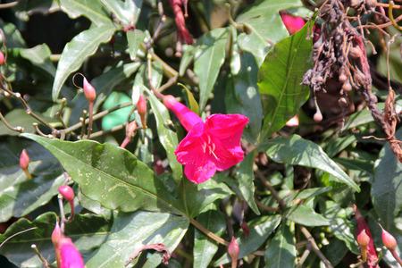 tuberous: Ipomoea horsfalliae, Cardinal creeper, Crimson Ipomoea, evergreen creeper with tuberous roots, milky sap, glossy leaves and crimson flowers