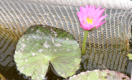 nymphaea: Nymphaea Queen of Siam, hybrid cultivar with variegated purple and green small leaves floating on water and raised purple flower