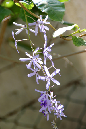 petrea: Petrea volubilis, Purple wreath, woody climber with purple star shaped flowers in drooping racemes Stock Photo