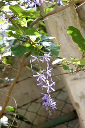 shaped: Petrea volubilis, Purple wreath, woody climber with purple star shaped flowers in drooping racemes Stock Photo