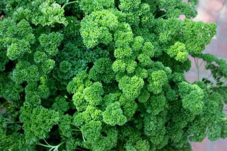 curled: Petroselinum crispum var crispum, Moss curled parsley, variety with finely curled leaves with narrow segments often forming thick bunches, used in flavouring