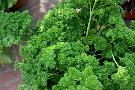 var: Petroselinum crispum var crispum, Moss curled parsley, variety with finely curled leaves with narrow segments often forming thick bunches, used in flavouring