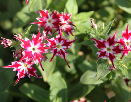 known: Phlox drummondii-Sternenzauber also known as Twinkle, annual cultivated herb tiny star-like flowers with fringed and pointed petals Stock Photo