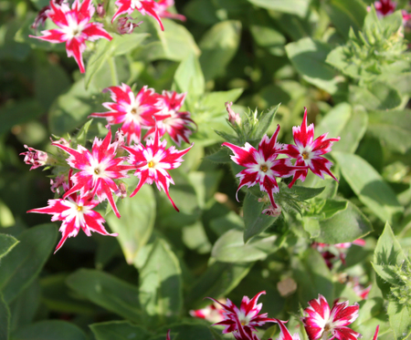twinkles: Phlox drummondii-Sternenzauber also known as Twinkle, annual cultivated herb tiny star-like flowers with fringed and pointed petals Stock Photo