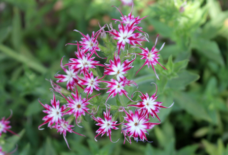 starlike: Phlox drummondii-Sternenzauber also known as Twinkle, annual cultivated herb tiny star-like flowers with fringed and pointed petals Stock Photo