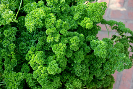 Petroselinum crispum var crispum, Moss curled parsley, variety with finely curled leaves with narrow segments often forming thick bunches, used in flavouring