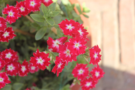 starlike: Phlox drummondii cultivar similar to Sternenzauber but with shorter petal tips, annual cultivated herb tiny star-like flowers with fringed and pointed petals