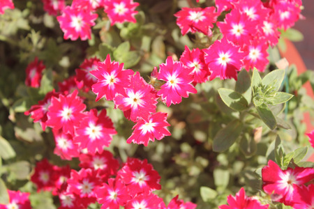 similar: Phlox drummondii cultivar similar to Sternenzauber but with shorter petal tips, annual cultivated herb tiny star-like flowers with fringed and pointed petals