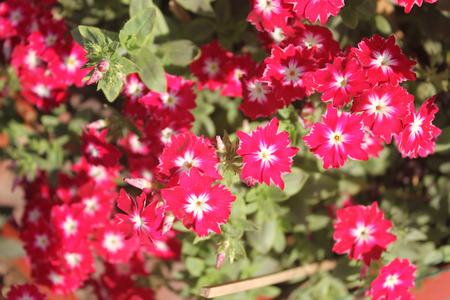 shorter: Phlox drummondii cultivar similar to Sternenzauber but with shorter petal tips, annual cultivated herb tiny star-like flowers with fringed and pointed petals
