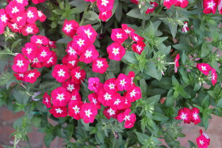 habit: Phlox drummondii, annual cultivated herb with spreading habit, green alternate leaves and red flowers with white center Stock Photo
