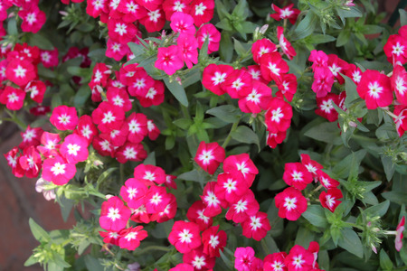 alternate: Phlox drummondii, annual cultivated herb with spreading habit, green alternate leaves and red flowers with white center Stock Photo