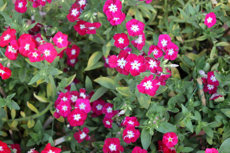 Phlox drummondii, annual cultivated herb with spreading habit, green alternate leaves and red flowers with white center Stock Photo