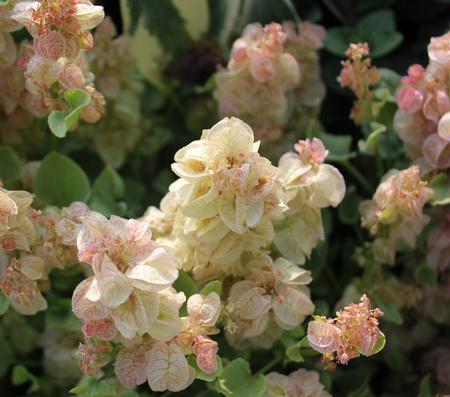 Rumex vesicarius, Bladder DocK, Annual ornamental herb with pale pink bladder-like fruits, also used as medicinal herb