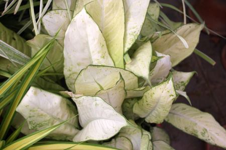 faint: Aglaonema Super White, Cultivar of Chinese Evergreen with large white leaves with faint green veins here and there. Stock Photo