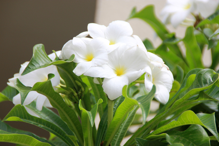 Plumeria pudica, , Fiddle Leaf Plumeria or bridal bouquet, shrub or small tree with fiddle-like leaves and white flowers with yellow centre