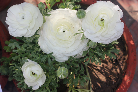 deeply: Ranunculus asiaticus, Persian buttercup, ornamental herbaceous perennial with deeply deeply green leaves, often hairy, and double flowers in various colours on long stalks Stock Photo