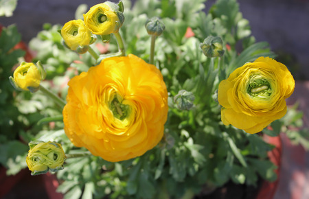 herbaceous: Ranunculus asiaticus, Persian buttercup, ornamental herbaceous perennial with deeply deeply green leaves, often hairy, and double flowers in various colours on long stalks Stock Photo