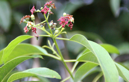 Santalum album, Indian sandalwood, evergreen tree parasitic on roots of other trees, ovate to lanceolate leaves and small red flowers, source of commercial sandalwood