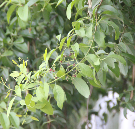 parasitic: Santalum album, Indian sandalwood, evergreen tree parasitic on roots of other trees, ovate to lanceolate leaves and small red flowers, source of commercial sandalwood