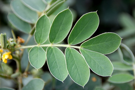 auriculata: Senna uniflora, Oneleaf Senna, annual herb with sericeous hairy stem and leaves, pinnate leaves, yellow flowers and smaller straight narrow pods Stock Photo