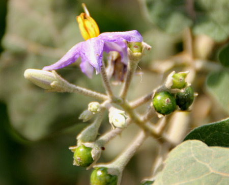 stellate: Solanum violaceum, Indian Nightshade, prickly shrub with sinuate stellate hairy leaves, blue flowers and small globose orange berries