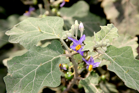 prickly flowers: Solanum violaceum, Indian Nightshade, prickly shrub with sinuate stellate hairy leaves, blue flowers and small globose orange berries