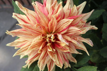propagation: Dahlia English Breakfast, Dahlia cultivar with doubly flower head with peach colored flowers with red stripes, tall herb with tubers used for propagation