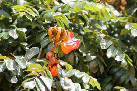nandi: Spathodea campanulata, African tulip tree, Fountain tree, Nandi flame, ornamental tree with orange-red bell shaped flowers, flower buds ampule shaped and carry water
