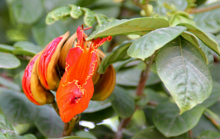 bell shaped: Spathodea campanulata, African tulip tree, Fountain tree, Nandi flame, ornamental tree with orange-red bell shaped flowers, flower buds ampule shaped and carry water