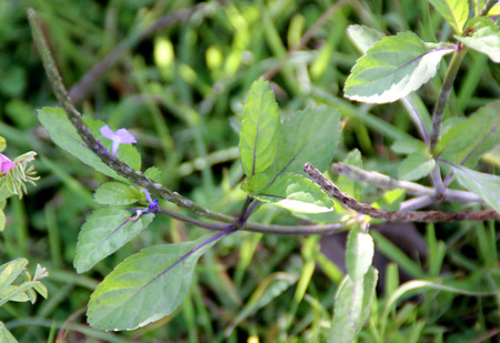 cylindrical: Stachytarpheta jamaicensis, Blue snake weed, Brazilian tea, herb with blue flowers on long cylindrical spike, leaves used for making tea, also used as blood cleanser