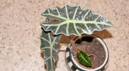 distinctive: Alocasia amazonica, Elephant ear, rhizomatous perennial ornamental herb with distinctive dark green arrow shaped leaves with broad white veins Stock Photo