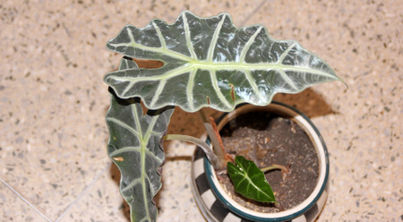 and distinctive: Alocasia amazonica, Elephant ear, rhizomatous perennial ornamental herb with distinctive dark green arrow shaped leaves with broad white veins Stock Photo