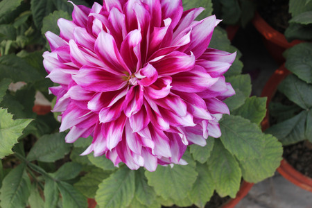 propagation: Dahlia , Frost Nip, cultivar with purple flowers with white tips, tall herb with tubers for propagation, heads on long stalks