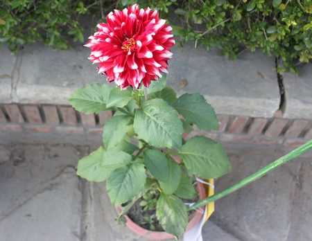 smaller: Dahlia Skipley Spot, ornamental herb with smaller double white heads with white spots, easily propagated by tubers Stock Photo