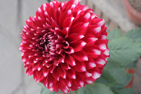 easily: Dahlia Skipley Spot, ornamental herb with smaller double white heads with white spots, easily propagated by tubers Stock Photo