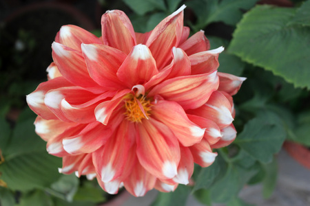 propagation: Dahlia cultivar with peach flowers with white tips, tall herb with tubers for propagation, heads on long stalks