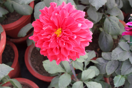 propagation: Dahlia cultivar with red flower heads, tall herb with tubers for propagation, heads on long stalks