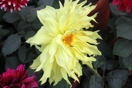 propagation: Dahlia cultivar with pale yellow flower heads, tall herb with tubers for propagation, heads on long stalks
