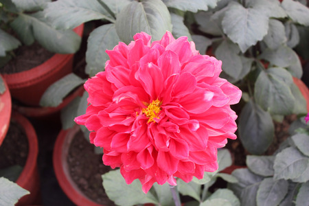 stalks: Dahlia cultivar with red flower heads, tall herb with tubers for propagation, heads on long stalks